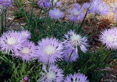 Centaurea pulcherrima - Skaistā dzelzene