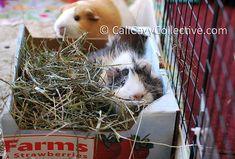 DIY guinea pig toy: box of hay. A cardboard box, sheets of newspaper, and fresh hay = instant piggy fun Diy Guinea Pig Toys, Guinea Pig Care, Animals And Pets, Cute Animals, Guniea Pig, Hamster Care, Cute Piggies, Funny Tattoos, Pet Life