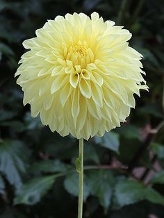 ~Primrose Pet Dahlia | Corralitos Gardens - Feed your plants with GrowBest from http://www.shop.embiotechsolutions.co.uk/GrowBest-EM-Seaweed-Fertilizer-Rock-Dust-Worm-Casts-3kg-GrowBest3Kg.htm