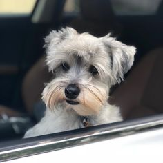 I know I am cute but nope not looking at the camera today. Just get in the car and drive me somewhere good human. #nope #schnauzerworld #schnauzer #schnauzerlovers #schnauzer_feature #schnauzersofinstagram #dog #buzzfeedanimals #dogstagram #dog_features #sendadogphoto #mydogiscutest #pet #pets #instapet #petsofinstagram #puppy #puppies #puppyofday #weeklyfluff #cute #puppytales #dogsofinstagram #pups #dogsofhouston