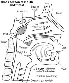 Cross-section diagram of the mouth and throat showing the larynx