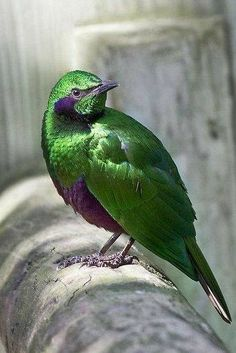 Emerald Starling fro West  Africa