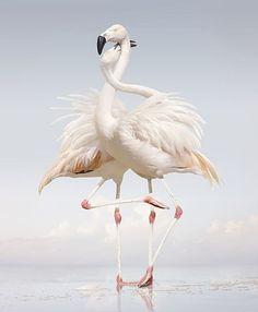 Enjoy the stylised drama of these flamingoes!