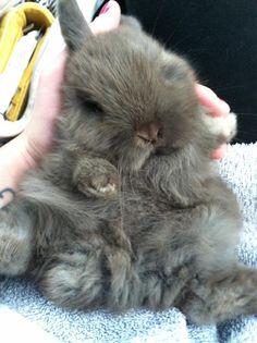 Holland Lop....our baby Dahlia #bunny #bunny