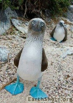 Bluefooted booby...... galapogas islands
