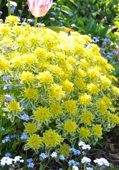 Euphorbia, 'first blush'