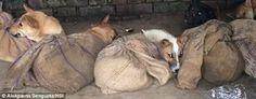 """""""O Grito do Bicho"""": O comércio ilegal de carne de cachorro na Índia"""