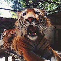 Imagem de tiger, animal, and wild
