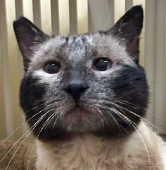 ADOPTED!!! Hop Sing is an adoptable Oriental Short Hair searching for a forever family near Santa Fe, NM. Use Petfinder to find adoptable pets in your area.