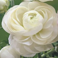 (Persian Buttercup) Ranunculus White = my favourite flower.