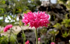 Kornblume, rot blühend (Saatgut)