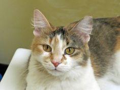 Poppy for adoption, Feline Rescue, Inc in St. Paul, MN - has FeLV, very happy, playful girl