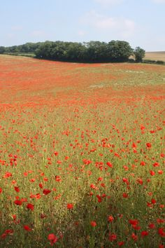 Real field of poppies...