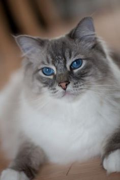Ragdoll. Ive never actually seen a cat of this breed, but theyre certainly lovely.