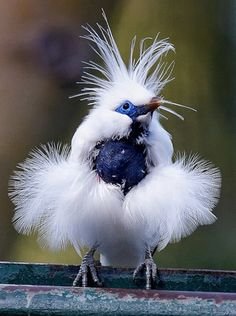 Bali Mynah- is restricted to the island of Bali in Indonesia, where it is the island's only endemic vertebrate species. 427 × 640 Critically Endangered.  559 × 750