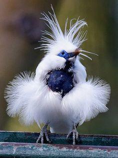 Bali Mynah rare bird, fluffy blue, white