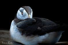 Horned Puffin: A cute little Horned Puffin nestling into his feather for a little rest taken at Resurrection Bay Alaska. BirdNatureAnimalAnimalsOrnithologyWaterOceanCuteRelaxBirdsStillNorth AmericaWildlifeAlaskaUnited StatesWingSewardFeatherPacific OceanLow KeyBlack BackgroundRelaxingAvianWingsBirdingWild LifeBeakFeathersSea BirdWild AnimalRestRestingPuffinLow-KeyResurrection BayBodies Of WaterAlcidaeAukSea ParrotAuksHorned PuffinFratercula Corniculata