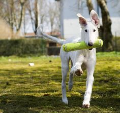 Borzoi puppy!!! Look at those ears! My puppy did the exact same thing, except she had a ball in her mouth...