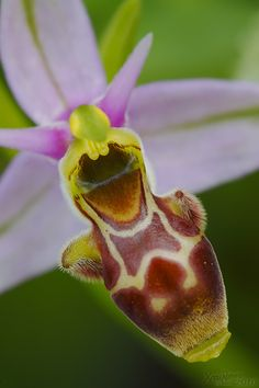 Ophrys scolopax Wild orchids of Spain