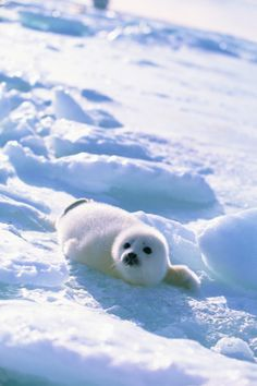 Harp Seal 31