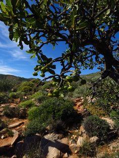Ozoroa Crassinervia                  Namibian Resin Tree        Namibiese Harpuisboom          9 m      S A no 369