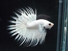 White crowntail male Siamese Fighting Fish