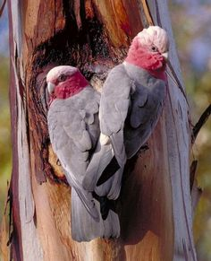 Galahs... Got a pair of these nesting out the back. Love these noisy naughty birds