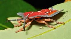 Lychee Stink Bug - Yahoo Search Results Yahoo Image Search Results
