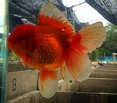 Another good example of oranda. if you need info on goldfish care, please go to http://goldfishkeepers.com/GoldfishCare.php. To watch more video https://www.youtube.com/playlist?list=PLdW3uhsMMIL-lAuw91q4LV8w_pcP41KDH.