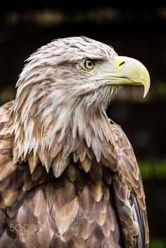 Eagle Head, Bald Eagle, White Tail, Bird Drawings, Wood Sculpture, Hawks, Eagles, Wildlife, Carving