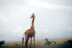 Definitely visiting Africa and seeing one of these before i die.. such an amazing animal !