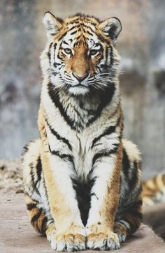 Discovered by Kelly. Find images and videos about animal, galaxy and tiger on We Heart It - the app to get lost in what you love. Beautiful Cats, Animals Beautiful, Animals And Pets, Cute Animals, Baby Animals, Tiger Love, Tiger Tiger, Tiger Art, Bengal Tiger