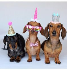 If youve never thrown a dog party before this is a good day to give it a chance. If youve never thrown a dog party before this is a good day to give it a chance. Happy Birthday Dachshund, Dog Birthday Hat, Birthday Party Hats, Birthday Cards, Birthday Wishes Funny, Happy Birthday Messages, Happy Birthday Greetings, Dachshund Breed, Dachshund Love