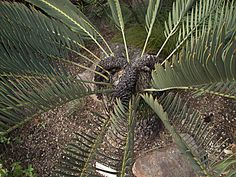 Encephalartos eugene-maraisi Jungles, Exotic Plants, Forests, Botanical Gardens, Houseplants, Shrubs, Trees, Gardening, Natural
