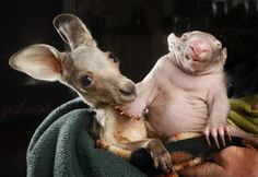 Orphaned Kangaroo and Wombat Became Friends. Dat baby wombat.