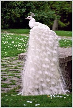 An albino peacock. This animal also exist in Japan. I thought it is not an albino peacock. Hmm quite interesting. Pretty Birds, Beautiful Birds, Animals Beautiful, Beautiful Pictures, Gorgeous Gorgeous, Absolutely Stunning, Simply Beautiful, Albino Peacock, White Peacock
