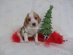 Olde English Pocket Beagle Puppy www.perfectpocketbeagles.com