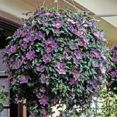 This is beautiful, but I wonder how they get it to continue to grow, since Clematis won't grow if it has nothing to cling to? I notice it is from the UK, maybe a special variety? Must check into this! Love the idea!