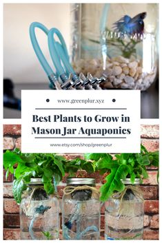 Best plants to grow in mason jar aquaponics kits Lettuce Basil Cilantro Wheat grass Purchase your own indoor herb garden salad garden with hydroponics and betta fish Ver. Aquaponics Greenhouse, Aquaponics Plants, Aquaponics System, Hydroponic Gardening, Hydroponics, Container Gardening, Indoor Aquaponics, Indoor Gardening, Water Plants