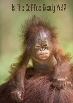 Orang-utan baby – R PL - Baby Animals Primates, Cute Creatures, Beautiful Creatures, Animals Beautiful, Cute Baby Animals, Animals And Pets, Funny Animals, Animals Planet, Animal Babies