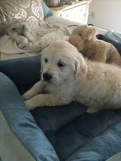 Scout- my sweet English Cream Labrador Retriever, English, Babies, Cream, Sweet, Dogs, Animals, Design, Labrador Retrievers