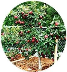 10 Tips on Growing Dwarf Fruit Trees. I just planted about 8 new Dwarf Trees in my backyard, adding to the 4 I already had. For a small city lot, these are great. :) This year I have awesome pears, apples and sweet cherries.