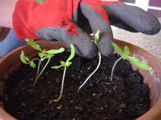 Ha már kikukucskálnak a lomblevelek a palántáidon, itt az ideje a tűzdelésnek. Hiszen eddig tápanyag szegény talajban, közösen nevelkedtek a vetőládában, vagy egyebütt. Green Plants, Decor, Lawn And Garden, Decoration, Decorating, Deco, Foliage Plants