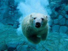 El oso polar, una especie que habita la Antártida, debajo de cuya piel se encuentra una espesa capa de grasa que sirve de aislante térmico. Actualmente se encuentra en peligro extinción.