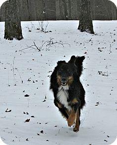 norridge, IL - Australian Shepherd/English Shepherd Mix. Meet Duke, a dog for adoption. http://www.adoptapet.com/pet/14977412-norridge-illinois-australian-shepherd-mix