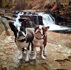 boston terrier hiking