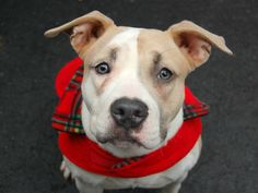 BABY URGENT - Manhattan Center    GINA - A0989117   FEMALE, TAN / WHITE, PIT BULL MIX, 5 mos  STRAY - STRAY WAIT, NO HOLD Reason NO TIME   Intake condition NONE Intake Date 01/09/2014, From NY 10459, DueOut Date 01/12/2014 Original Thread: https://www.facebook.com/photo.php?fbid=739320606080821&set=a.617938651552351.1073741868.152876678058553&type=3&theater