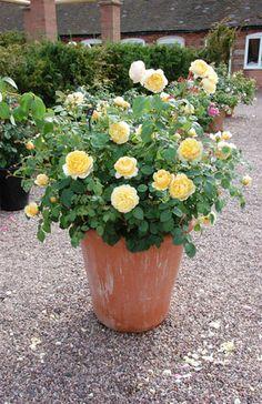 Rose Charlotte, Rosa Charlotte, English Rose Charlotte, David Austin Roses, English Roses, Yellow roses, shrub roses, Rose Bushes, Garden Roses, very fragrant roses, Favorite roses