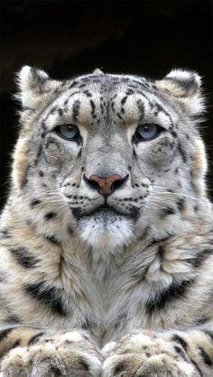 Leopardo das neves