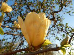 Frühlingsbote im Garten - die Magnolien sind mehr als 100 Millionen Jahre alt. Ihre Blüten gelten als Prototyp für alle Blütenpflanzen.